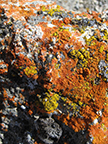 orange lichen is common growing on limstone